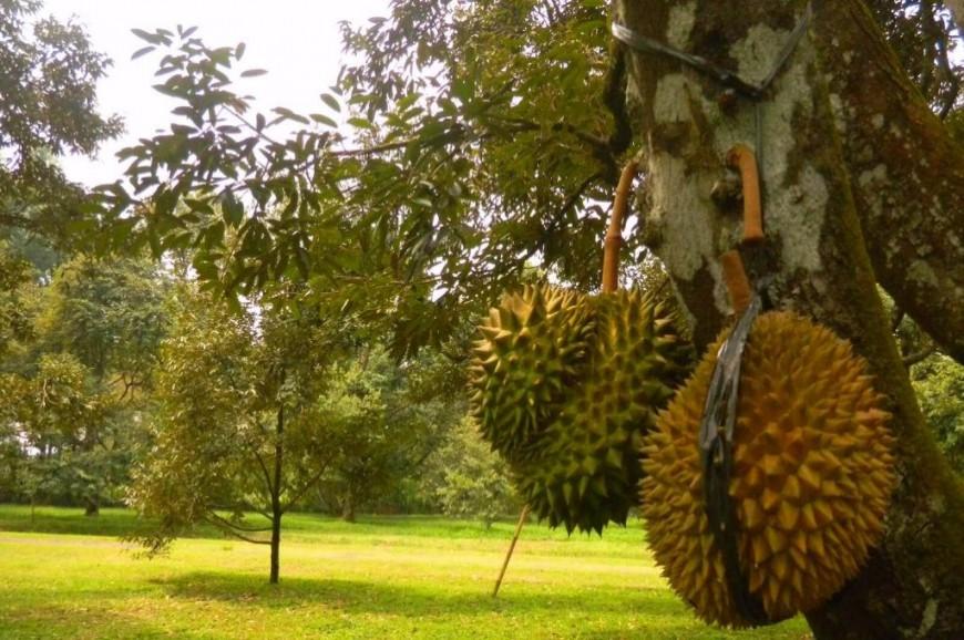 حديقة الفواكه بونشاك اندونيسيا