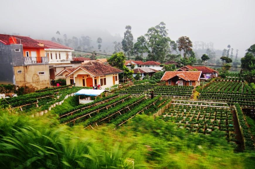 توجد العديد من مزارع الفراوله في باندونغ ومن اهم