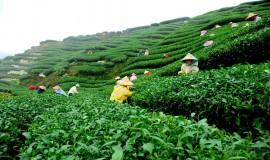 مزارع الشاي باندونق اندونيسيا