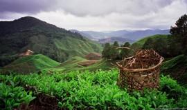 مزارع الشاي في الكاميرون هايلاند ماليزيا