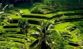 مدرجات أرز تيقالالانق بالي اندونيسيا
